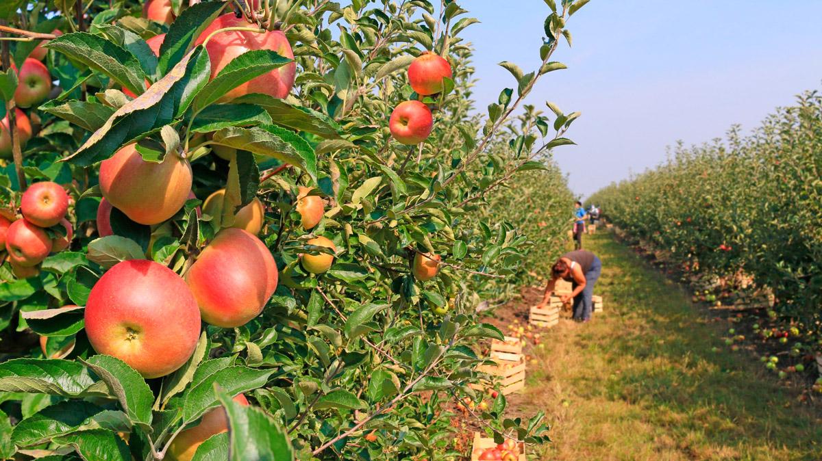 Горные яблоки в дагестане