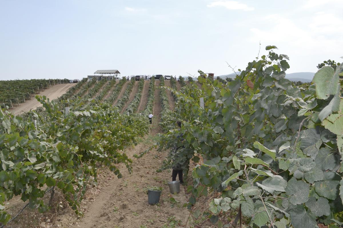 Инвестиционный проект по закладке 10 га технических сортов винограда работа интернета в спящем режиме